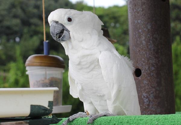 真っ白の可愛いオウムの写真