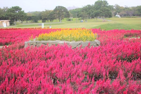 海の中道海浜公園、花桟敷のケイトウの写真