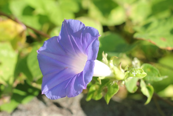 空き地に咲いてた青紫のアサガオの写真