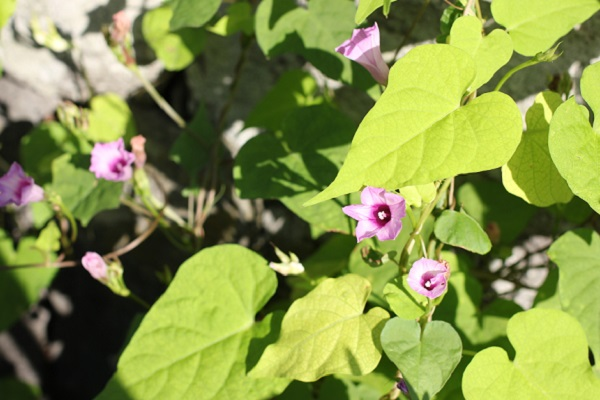 空き地に咲いてたホシアサガオの様子の写真
