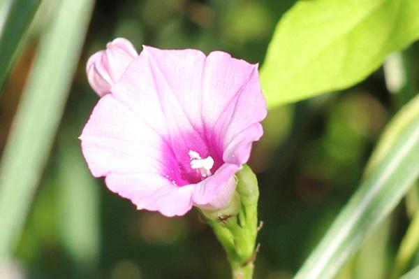 空き地に咲いてたホシアサガオのアップ写真