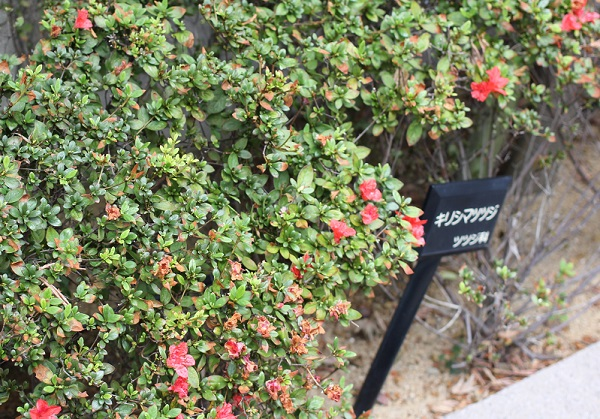 町の道路沿いに植えられていた秋に開花したキリシマツツジの花の様子とキリシマツツジの立て札の写真