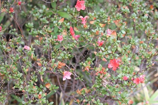町の道路沿いに植えられていた秋に開花したキリシマツツジの花の写真