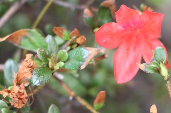 秋に咲いてるキリシマツツジの花と枯れた花のアップ写真