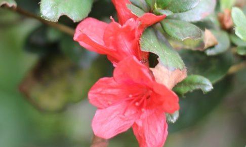 秋に咲いてたツツジ(キリシマツツジ)の花の写真