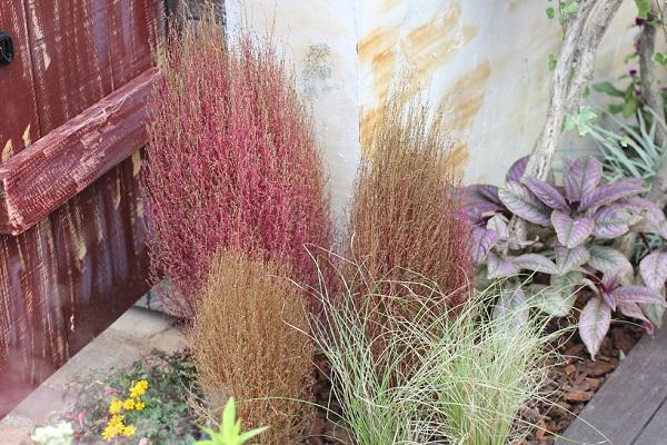 玄関先に植えられてる赤や茶色の小さなコキアの写真