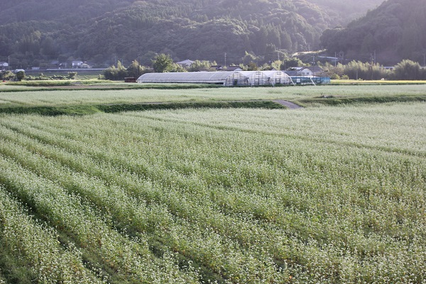 広いそば畑の写真 一面に咲くそばの花