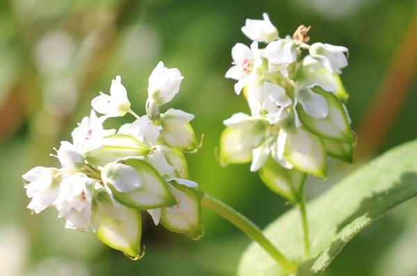 そばの花のアップ写真