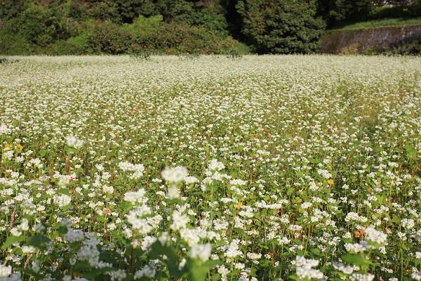 山の麓に咲いてるそば畑の花の様子の写真