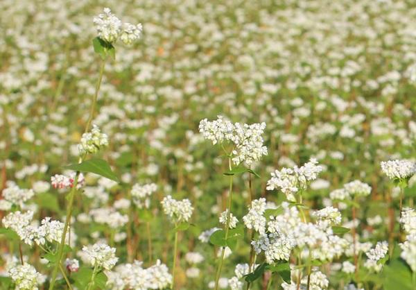 そば畑に咲くそばの花の写真