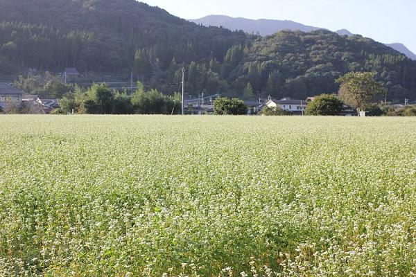 山を背景にしたそば畑の写真