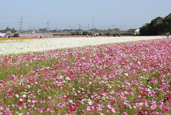三光コスモス園の駐車場付近のコスモス畑、グラデーションになって彩られてるコスモスの写真