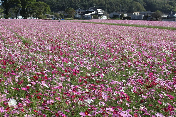 三光コスモス園、山と民家を背景に咲き誇るコスモス畑の写真