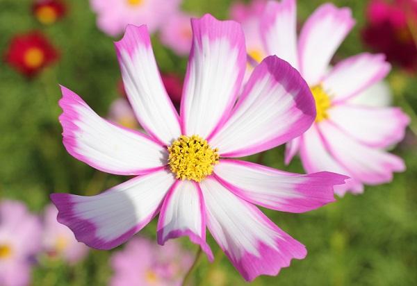 三光コスモス園、白にピンクの淵がある変わり咲きの美しいコスモスの写真