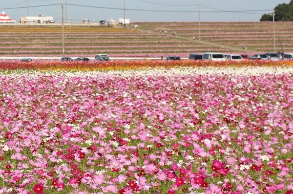 三光コスモス園、コスモス畑の先に見える段々畑に咲くコスモスの写真