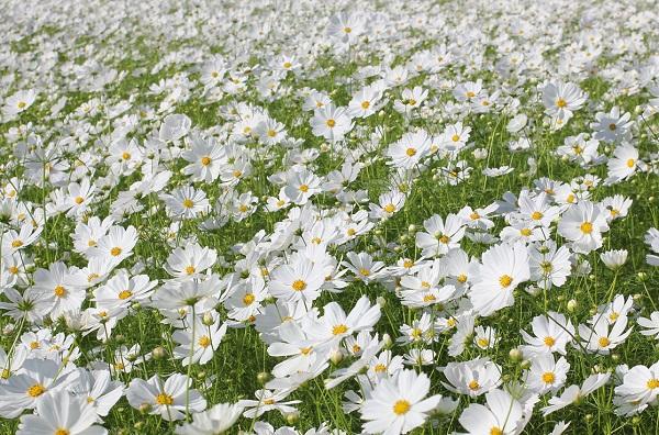 三光コスモス園、一面に咲く真っ白のコスモスの写真