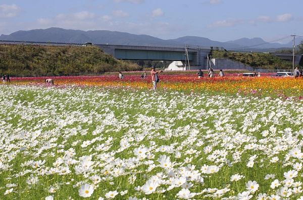 三光コスモス園、山と高速道路を背景に咲いてる白や赤、オレンジのコスモス畑の写真