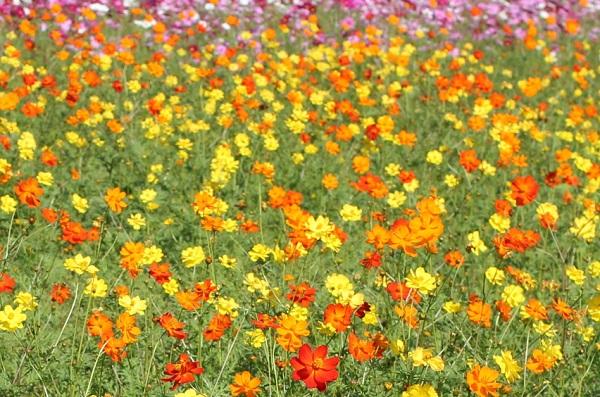 三光コスモス園、黄色とオレンジに咲き乱れてるキバナコスモスの写真