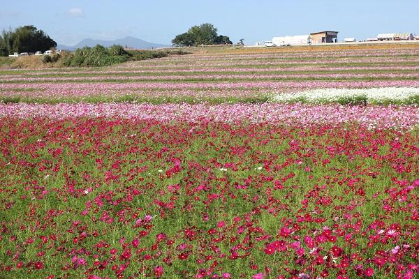 三光コスモス園、段々畑(棚田)に咲いてる美しいコスモスの写真