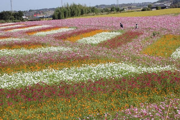 三光コスモス園、やぐらからみたコスモスアート、コスモスの美しい色どりの写真