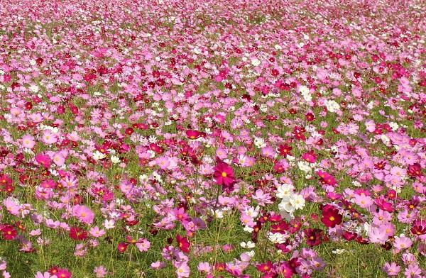 三光コスモス園、ピンク系のコスモスの花畑の写真