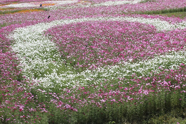 三光コスモス園、やぐらの上から見たコスモスのアート、ハート型のコスモス花壇の写真