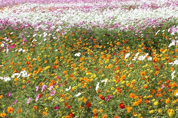 三光コスモス園、アート花壇、キバナコスモスと白とピンクのコスモスの写真