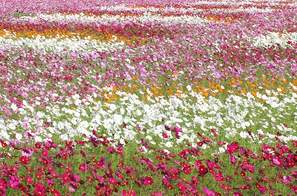 三光コスモス園、パッチワークのような色どりが美しいコスモス畑の写真