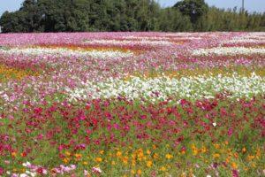 三光コスモス園 パッチワークのようなコスモス畑のようすの写真