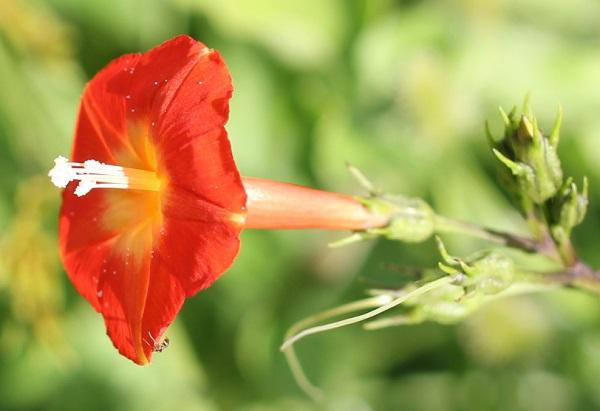 マルバコウソウの花、アップ写真