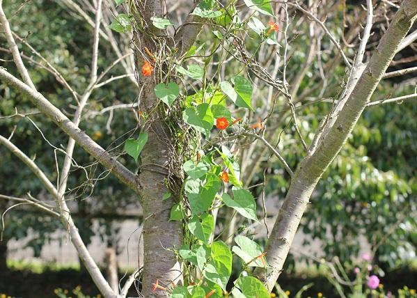 木にまとわりついて咲いているマルバルコウソウの写真