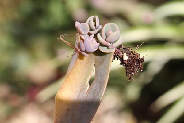 胡蝶の舞の葉がいつの間にか落ちていて、芽をだしたようすの写真