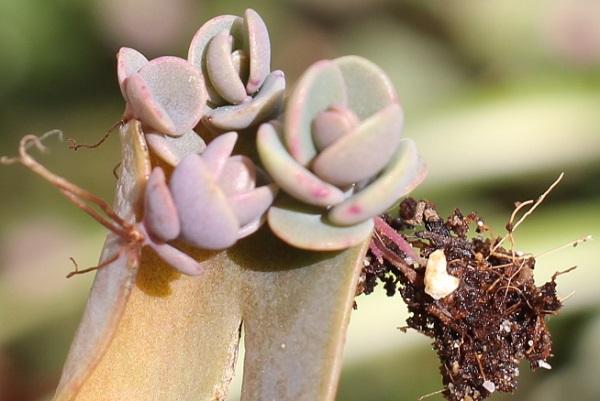 胡蝶の舞の葉がいつの間にか落ちていて、芽をだしたようすのアップ写真