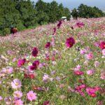 白木峰のコスモス畑の写真