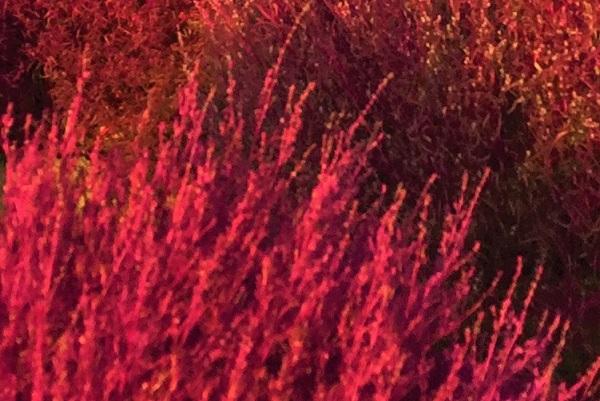 真っ赤なコキアのアップ写真