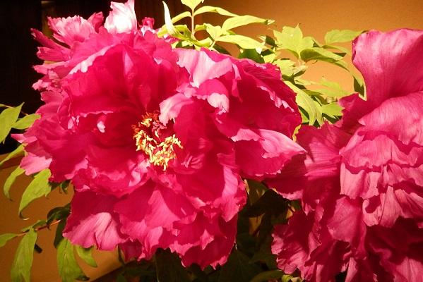 牡丹の館、美しい赤い牡丹のアップ写真
