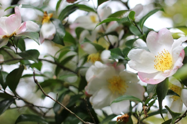 由志園、美しい山茶花の写真