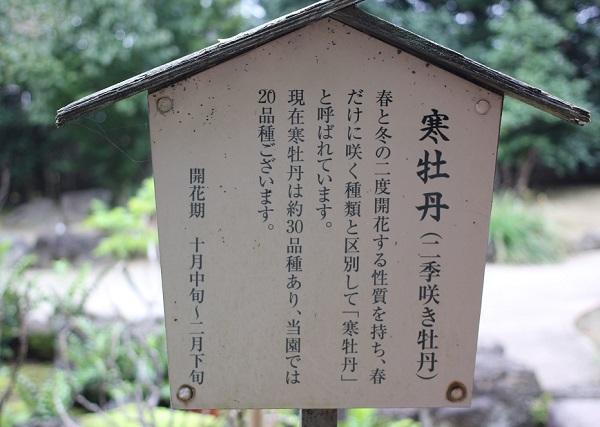 寒牡丹の説明看板の写真