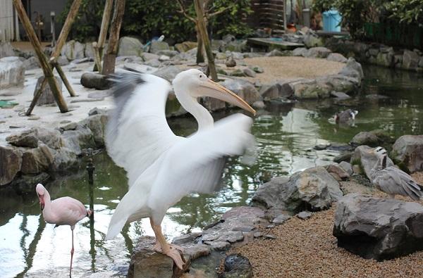 松山フォーゲルパークのペリカンの写真