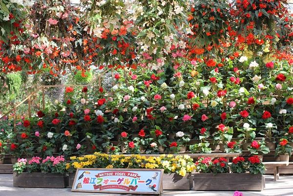 松江フォーゲルパーク、花の展示室の様子 ベコニアがたくさん咲いてる写真