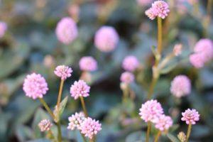 庭に咲いてるヒメツルソバの花の写真