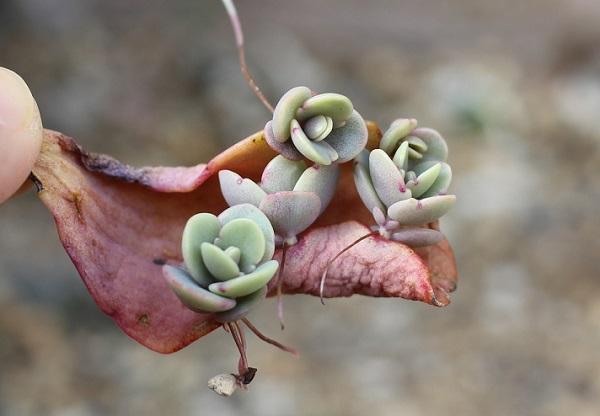 胡蝶の舞の葉から4つの芽をだしたようすの写真