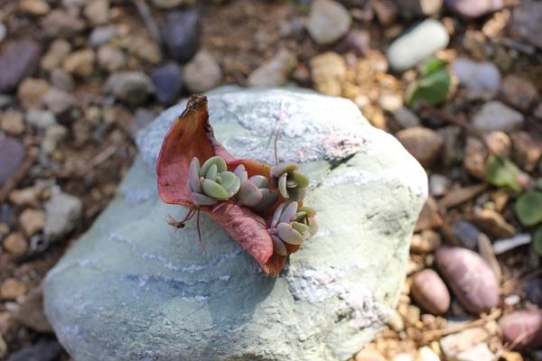 胡蝶の舞、4つの芽をだした葉を綺麗な石に乗せてみた写真