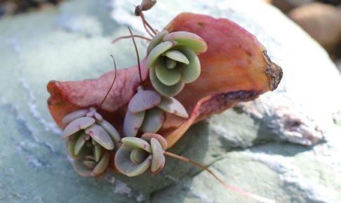 胡蝶の舞 葉から出てきた芽の写真