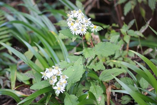 春日渓谷の山に咲いてる白い花の写真