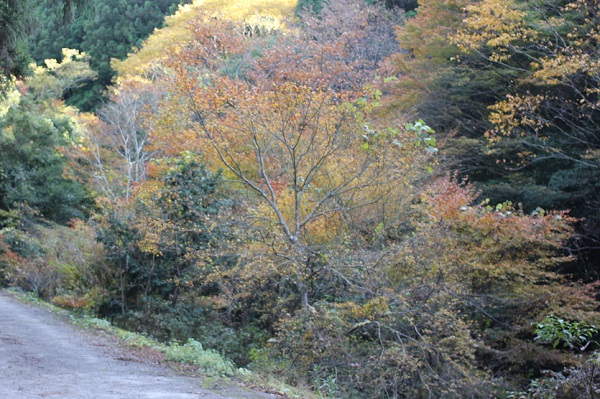 春日渓谷の道沿いの紅葉の写真
