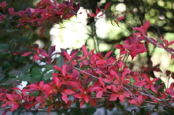 真っ赤に紅葉しているドウダンツツジの写真
