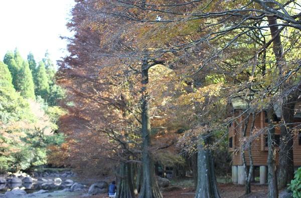 広川原キャンプ場の紅葉した落羽松の写真