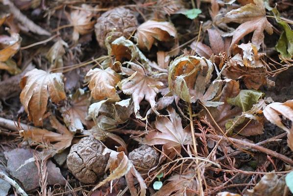 広川原キャンプ場、落ち葉と木の実の写真