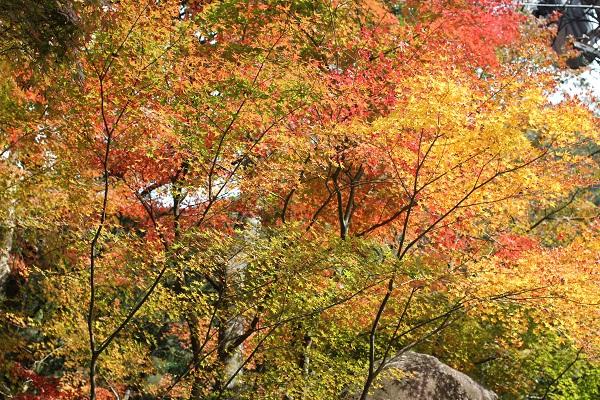 轟渓流の紅葉の様子、黄色と赤、オレンジ、緑のモミジのグラデーションの写真